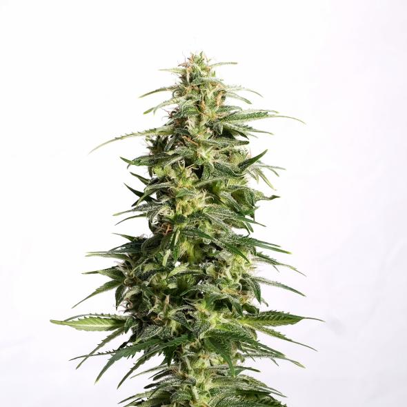 Swiss Dream Auto CBD - Kannabia